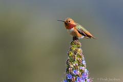 Allen's Hummingbird (Selasphorus sasin) (Frode Jacobsen) Tags: allenshummingbird selasphorussasin hummingbird bird aves frodejacobsen california