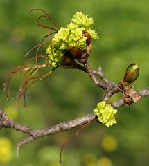 Ahorn, geschlitzter Fächer- / Japanese maple (Acer Palmatum Palmatifidum) (HEN-Magonza) Tags: botanischergartenmainz mainzbotanicalgardens rheinlandpfalz rhinelandpalatinate germany deutschland frühling spring flora