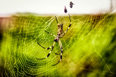 Come into my parlour (tagois) Tags: goldensilkorbweaver spider araña costarica tortuguero provinciadelimón mawambalodge