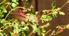 Green On Green Action (sbisson) Tags: hummingbird annashummingbird garden sanjose bird wildlife hover wings emerald tiny flying california spring green ruby red zoom feeding flower salvia