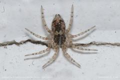 Star spider 1 (srkirad) Tags: animal insect spider closeup macro dof depthoffield wall gap eyes