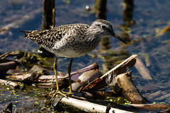 Wood Sandpiper, Marievale, Gauteng, March 2019 (roelofvdb) Tags: 2019 266 date gauteng march marievale place sandpiper sandpiperwood southernafricanbirds woodsandpiper year