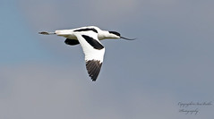 Avocet (Pikingpirate1) Tags: avocet rspb wild nature washland ngc bird