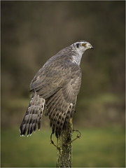 Goshawk (Charles Connor) Tags: goshawk hawks raptors birdsofprey birdphotography birdsonperch birds naturephotography nature featherdetail feathers plumage backgroundblur bokeh canondslr