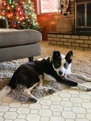 not ready for the holidays to be over #christmas #holidayseason #bordercollie #bordercolliemix (valatal) Tags: bordercolliemix christmas holidayseason bordercollie