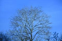 Birch Tree (rq uk) Tags: rquk nikon d750 wokingham nikond750 afsnikkor70200mmf28efledvr afsteleconvertertc14eiii birch tree pigeons blue sky sunny