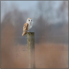 Barn Owl (image 1 of 2) (Full Moon Images) Tags: wicken fen burwell nt national trust wildlife nature reserve cambridgeshire bird birdofprey barn owl