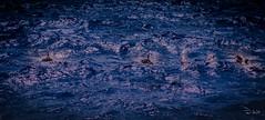 Martinique - Les Dauphins (François Leroy) Tags: françoisleroy france martinique dauphin dolphin bleu mer océan vague