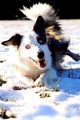 Turn around (_SinaColada_) Tags: happy fun walk eyes blue aussie white natur nature snow schnee cold winter roll rolle outside hund dog