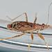 Ant Damsel Bug