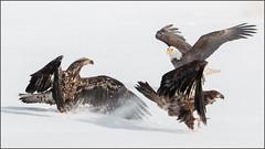 (c)WMH_2019_02_14_5824 Scram! (WesleyHowie) Tags: americanbaldeagle birds sheffieldmills canada location raptor wildlife novascotia