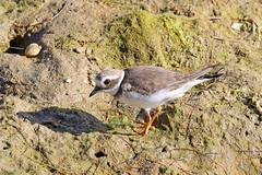 Ringed Plover (Roy Lowry) Tags: riaformosa ringedplover praiadefaro charadriushiaticula