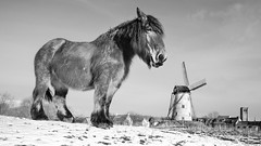 Damme horse 16-9 (Drummerdelight) Tags: horse damme snowy windmill