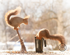 Red squirrel hanging in a garbage can another stand on a broom (Geert Weggen) Tags: squirrel red animal backgrounds bright cheerful close color concepts conservation culinary cute damage day earth environment environmental equipment love winter snow photo acorn nut food tree homeless roofless houseless garbagecan garbage broom dance openmouth bispgården jämtland sweden geert weggen hardeko ragunda