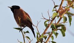 Orchard Oriole, Icterus spurius (asterisktom) Tags: chiapas mexico oaxaca 2019 march puertoescondido bird vogel ave 鸟 птица 鳥 pajaro oriole orchardoriole icterusspurius coastal mexico2019janmarch