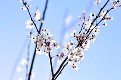 (Leela Channer) Tags: dsc0238 blossoms white nature flowers plants sky spring france garden light