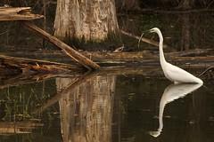 Grande aigrette. Great Egret. (AnneHu) Tags: oiseauxsauvageswildbirds grandeaigrettegreategret ardeidae egrettaalba pontstmartin lacdegrandlieu paysdelaloirefrance canoneos77d canon70300mmisiiusm