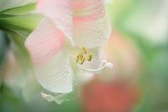 Pink Amaryllis (lfeng1014) Tags: pinkamaryllis flower flowermacro macro macrophotography canon5dmarkiii ef100mmf28lmacroisusm depthoffield dof closeup bokeh waterdroplets centennialparkconservatory toronto soft amaryllis lifeng
