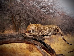 For the Leopard Sighting Deprived (The Spirit of the World ( On and Off)) Tags: leopard cat feline bigcat africa namibia southernafrica africatfoundation conservation conservatory endangered wildlife nature log limb grasslands meat