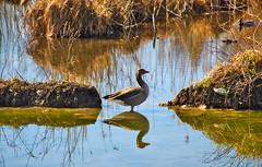 A goose and its mirror image (echumachenco) Tags: water reflection grass plant earth soil stone blue goose bird animal leopoldskron lake pond leopoldskronerweiher salzburg austria österreich march nikond3100