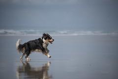 Fougue animale ***--+°--°° (Titole) Tags: dog chien running beach titole nicolefaton sea 15challengeswinner diamondaward bestof15 challengegamewinner thechallengefactory storybookwinner gamex3