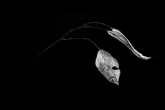 Fine moments (Pan.Ioan) Tags: plant leaf freshness blackandwhite monochrome studio shot copy space black background fragility vulnerability nature closeup