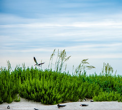 DSC_0174 (TDog54Photography / TCS Photography) Tags: birds north carolina coast nc east wings seagulls gulls seahore sea bird laridae sky clouds flying wrightsville beach