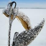 Frosted Milkweed Pods - Gousses d'asclépiade givrées thumbnail