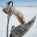 Frosted Milkweed Pods - Gousses d'asclépiade givrées
