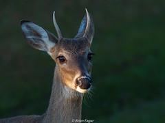 white tailed spike (Brian Eagar Nature Photography) Tags: animal mammal deer whitetailed nature wild wildlife georgia okefenokee portrait olympus em1m2 em1mii 300mm 300f4 olympus300mmf4