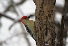 Red-bellied Woodpecker (Patricia Henschen) Tags: bird woodpecker redbellied redoak naturecenter batavia illinois foxvalley parkdistrict park foxriver foxvalleyparkdistrict