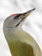 Grey-headed Woodpecker ♂ (Picus canus) (eerokiuru) Tags: greyheadedwoodpecker picuscanus grauspecht dzięciołzielonosiwy hallpearähn woodpecker bird closeup p900 nikoncoolpixp900 animalplanet