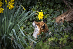 Dream of Fair to Middling Women (mond.raymond1904) Tags: fox daffodil dodder river ireland dublin