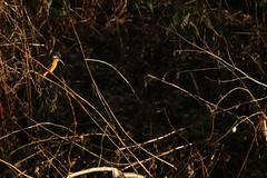 Kingfisher (Derbyshire Harrier) Tags: sheffield 2019 winter february wild southyorkshire fiveweirswalk backlighting backlit kingfisher alcedoatthis riverdon