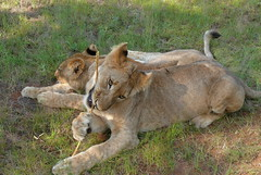 SWEET BROTHER AND SISTER (alessandra conti) Tags: wild animals africa big5 nature natura river