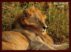 KING OF THE JUNGLE (Panthera leo)....MASAI MARA......SEPT,2018. (M Z Malik) Tags: nikon d3x 200400mm14afs kenya africa safari wildlife masaimara keekoroklodge exoticafricanwildlife exoticafricancats flickrbigcats lions leo pantheraleo ngc npc