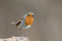 Robin with deformed bill (Steve Balcombe) Tags: bird robin red breast erithacus rubecula deformed twisted bill rspb greylake somerset levels uk