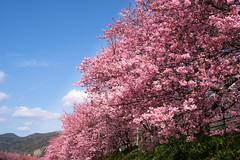 Kawazu - city / SONY α7 III ILCE-7M3 : SIGMA 50mm F1.4 DG HSM  Art (telenity) Tags: sigma 50mm art sony ilce7m3 α7ⅲ chreey blossom beautiful japan kawazu