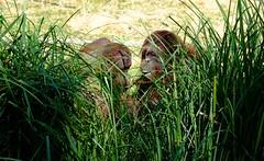 Complicité au ZooParc de Beauval (claude 22) Tags: orangoutan zooparcdebeauval saintaignansurcher france suricate beauval park animalier animals sauvages wild nature zoo