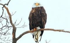 bald eagle at Decorah Fish Hatchery IA 653A1293 (naturalist@winneshiekwild.com) Tags: bald eagle decorah fish hatchery winneshiek county iowa larry reis
