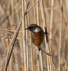 Stonechat (Lutra77) Tags: stonechat saxicolarubicola cleymarshes norfolk naturephotography britishbirds birds chats nature wildlife