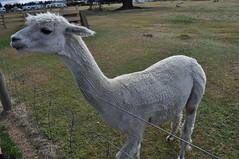ALPACAS - Alpaga Nouvelle Zelande 2019 (6) (hube.marc) Tags: alpacas alpaga nouvelle zelande 2019 vicugna pacos
