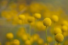 Wild flowers (iatassi) Tags: wildflowers springinarizona naturepeaceandlove springinscottsdaleaz southwest az usa iatassi iatassiphoto desert wilderness highdesert yellowflower yellowflowers ©copyright