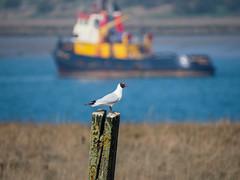 Oare 30.03.19 B H gull on post