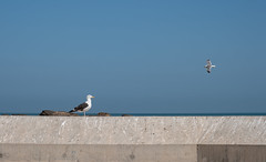 Essaouira, Harbour  2 seagulls (RaKra42) Tags: hafen harbour marokko meer reise reisen tiere travelling africa animal animals architecture birds blue building colors construction lifestyle morocco sea seagull sky travel wall wildlife