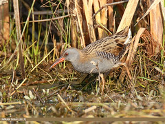 Water Rail (Rallus aquaticus) (gilgit2) Tags: avifauna birds canon canoneos7dmarkii category fauna feathers geotagged imranshah location marala pakistan punjab sialkot species tags tamron tamronsp150600mmf563divcusd waterrailrallusaquaticus wildlife wings gilgit2 rallusaquaticus