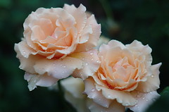 IMGP2071 (Cee Jay Cee) Tags: rose roses flower twinflowers joey littlejoey pentaxk30 k30 pentax smc55f20 garden plant outdoors 2roses