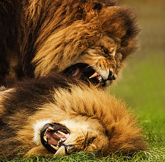 In for the Kill cropped (ralphashton) Tags: nature fur teeth lions male bite carnivor