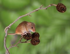 Harvest mice 14 12.01.19 (Lee Myers - aka mido2k2) Tags: harvest mice mouse mammal small native wildlife uk countryside nature natural studio light portrait setup nikon d7100 flash strobe sigma macro 105mm cute smile happy fluffy rodent