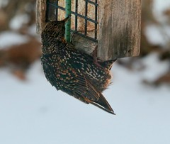 Starlings (REGOR NOTPUL) Tags: european starling suet glenburnie ontario